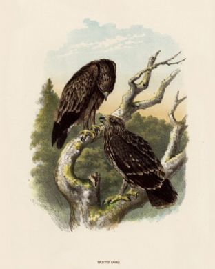 Eagle, Spotted by O V Riesenthal